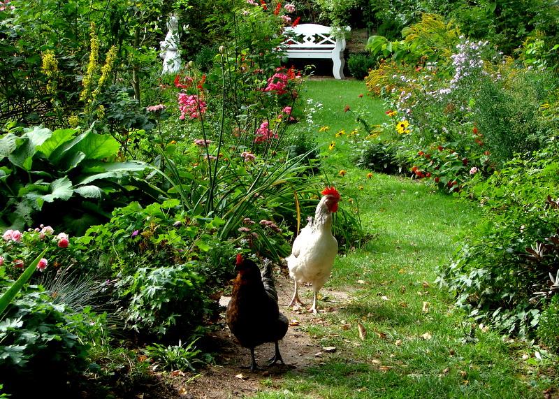 Hühnerhaltung Im Garten zwei hühner im garten